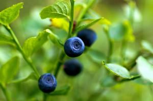 Blåbär en av Sveriges vanligaste växter